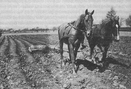 Inmate working in fields (almost hidden by horses). Note only one single guard at great distance, in far left of photograph.